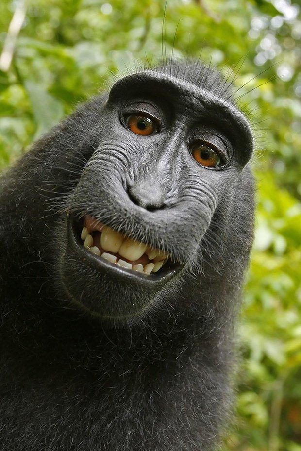 monkey-selfie-gemeinfrei